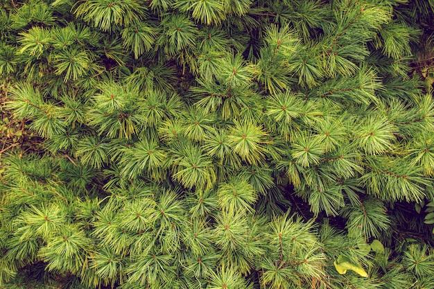 Nahaufnahme von ursprünglichen kiefernnadeln der japanischen kiefer, grüne natur.