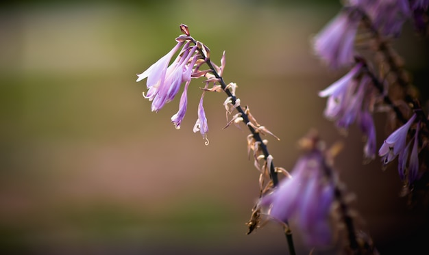 Nahaufnahme von violetten blüten. blumen in der abendsonne