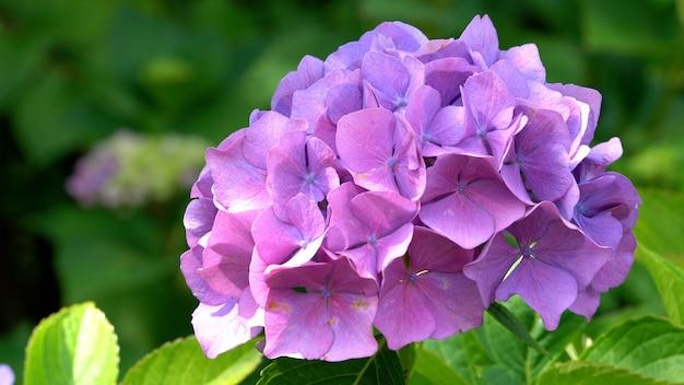 Nahaufnahme von violetten hydrangea macrophylla blumen