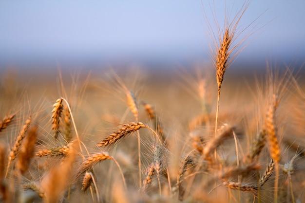 Nahaufnahme von warmen farbigen goldenen gelben reifen fokussierten weizenköpfen am sonnigen sommertag.