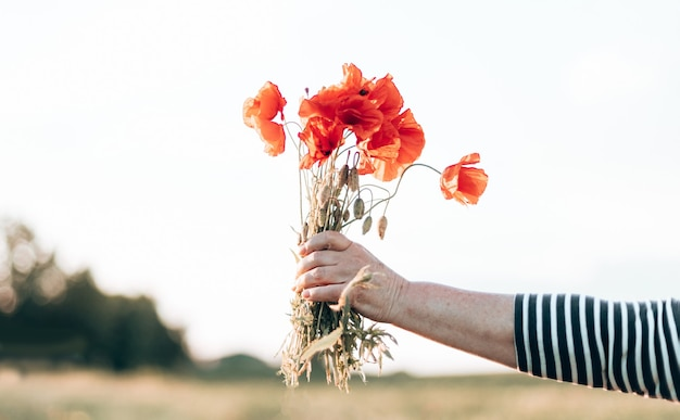 Nahaufnahme von weiblichen händen mit rotem mohnblumenstrauß bei sonnenuntergang auf dem feld in der abendnatur.