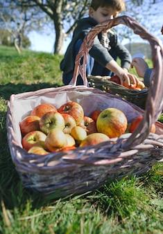 Nahaufnahme von weidenkorb mit frischen bio-äpfeln und kindern, die obsternte setzen. gesundes essen und kindheitskonzept.