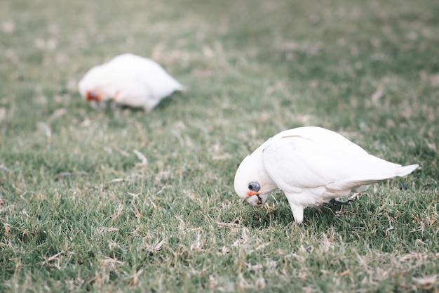 Nahaufnahme von weißen australischen corellas, die gras essen?
