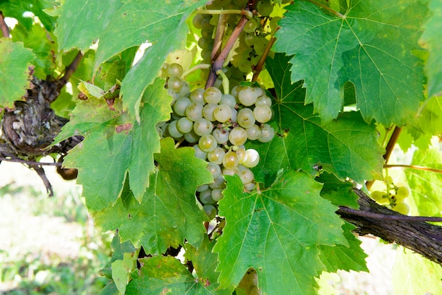 Nahaufnahme von weißen trauben im weinberg