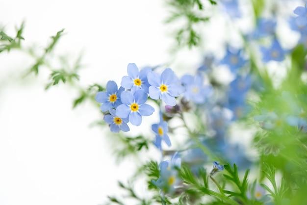 Nahaufnahme von winzigen blauen vergissmeinnichtblüten myosotis sylvatica auf unscharfer oberfläche