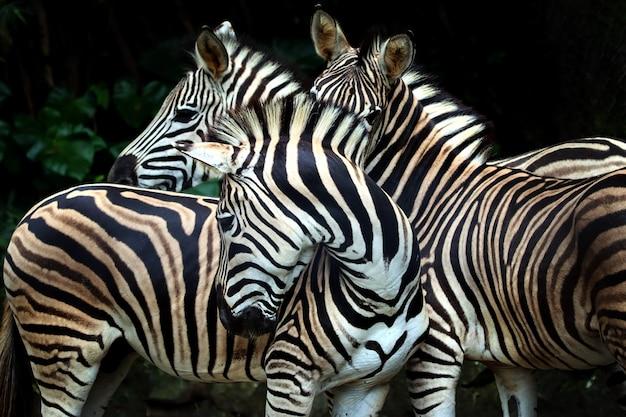 Nahaufnahme von zebras Premium Fotos