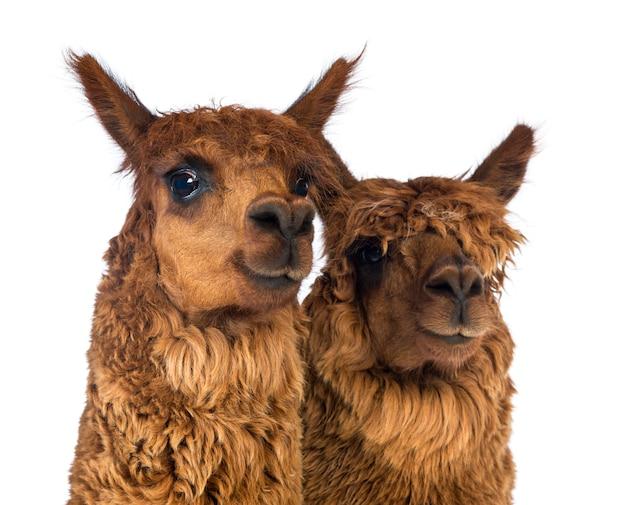 Nahaufnahme von zwei alpakas, die weg schauen und lächeln