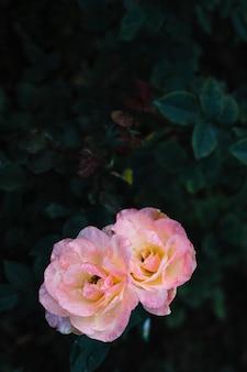 Nahaufnahme von zwei blühenden rosen