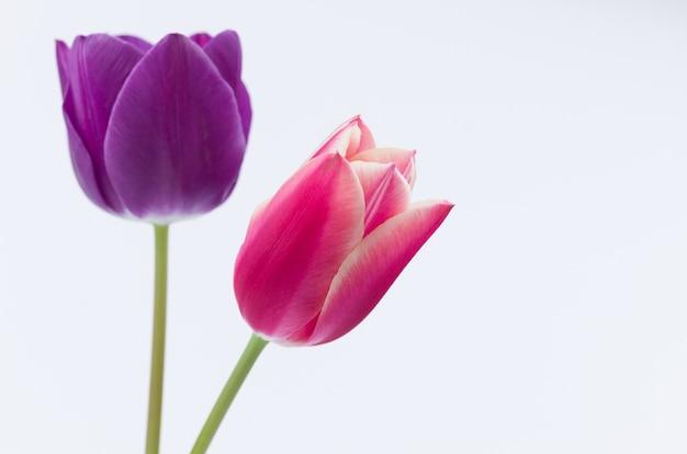 Nahaufnahme von zwei bunten tulpenblumen lokalisiert auf weißem hintergrund mit raum für ihren text