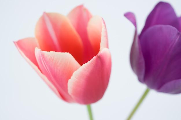 Nahaufnahme von zwei bunten tulpenblumen lokalisiert auf weißem hintergrund