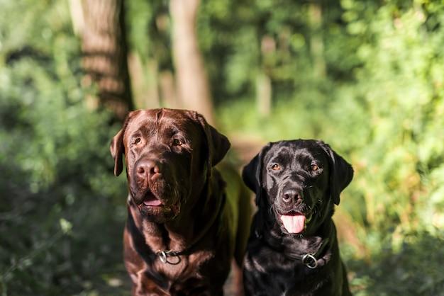 Nahaufnahme von zwei schwarzem und braunem labrador mit der zunge heraus haften