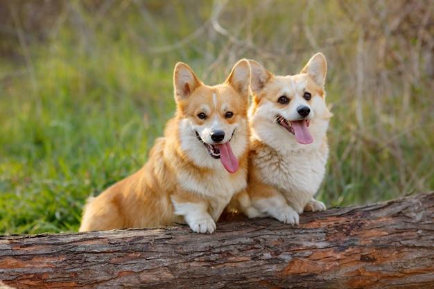 Nahaufnahme von zwei verspielten hunden in einem park