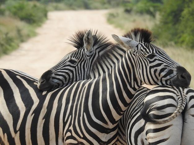 Nahaufnahme von zwei zebras, die sich bei tageslicht mit verschwommenem hintergrund umarmen