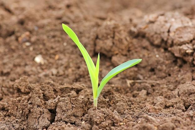 Nahaufnahme wachsender junger grünkern-sämlings-sprösslinge auf dem bebauten landwirtschaftlichen bauernhof-gebiet
