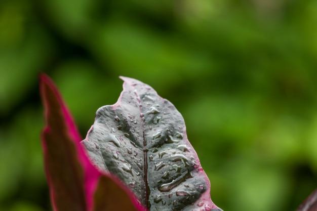 Nahaufnahme wassertröpfchen auf schönem purpurrotem blatt nach regengrünhintergrund mit kopienbadekurort