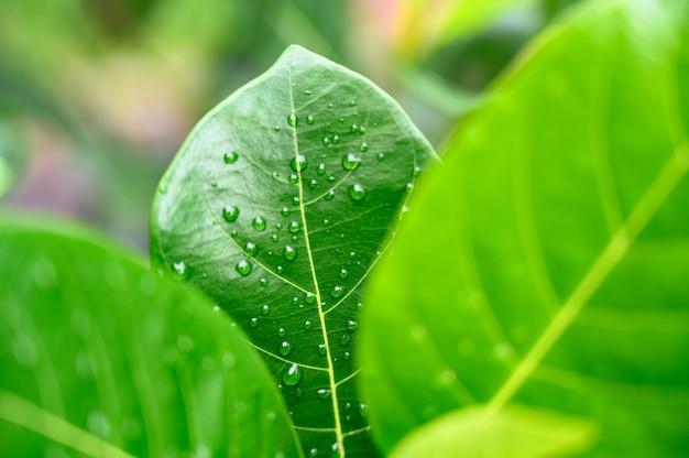 Nahaufnahme-wassertropfen auf grünem blatt, die naturansicht in den garten am sommer.