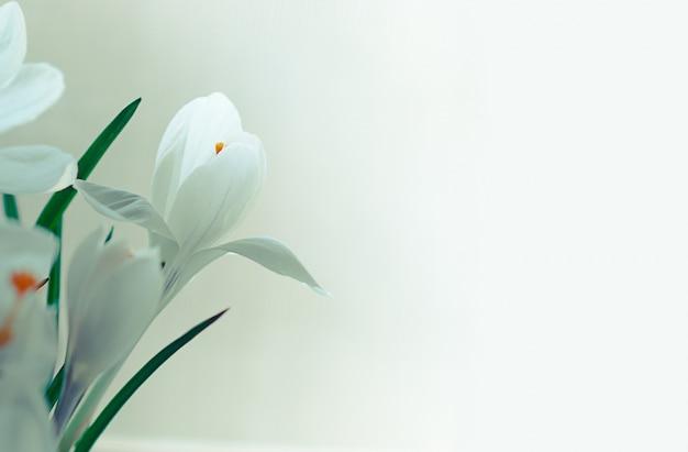 Nahaufnahme weich fokussierte weiße krokusblüten in voller blüte auf weißem hintergrund