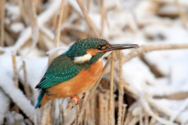Nahaufnahme winterporträt eines gewöhnlichen eisvogels sitzt auf dem schilf mit einem gefrorenen schnabel