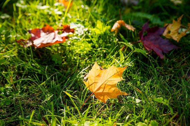 Nahaufnahme zwei bunte ahornblätter im sonnenlicht auf dem gras. natürlicher hintergrund des herbstes. gefallene herbstblätter auf dem boden im sonnenlicht. blatt im wald auf dem boden bei sonnigem wetter