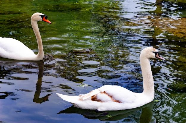 Nahaufnahme zwei weiße schwäne, die in einem klaren teich schwimmen