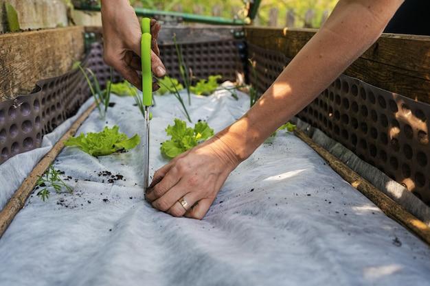 Nahaufnahmeansicht der frau, die ein loch in weißes schützendes gartennetz schneidet, um gemüsesämlinge im garten zu pflanzen.