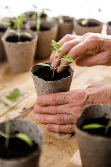Nahaufnahmeansicht der hände der älteren frau, die frische grüne tomatensämlinge in umweltfreundlichen töpfen pflanzt