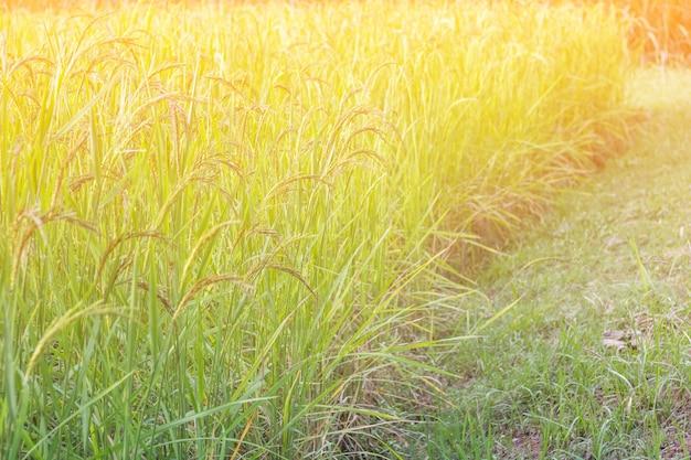 Nahaufnahmeansicht des reispaddys in den reisterrassen von thailand