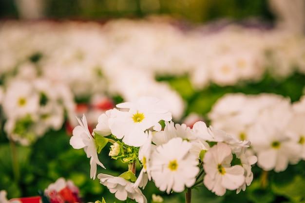 Nahaufnahmeansicht einer blühenden pflanze oder des strauchs mit bündeln von kleinen weißen blumen