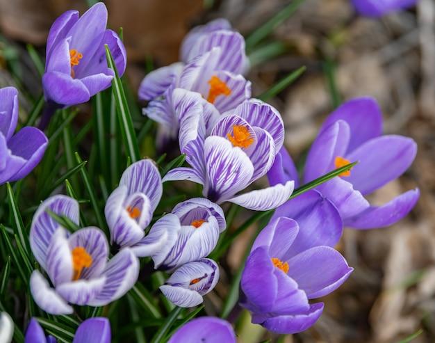 Nahaufnahmeaufnahme der blühenden krokusblumen
