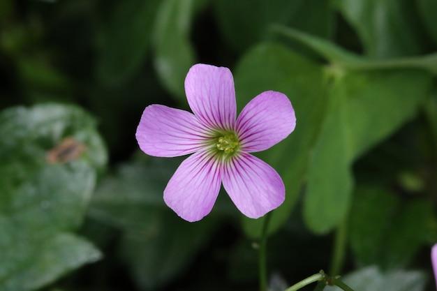 Nahaufnahmeaufnahme der blühenden lila oxalis oregano-blumen mit blättern