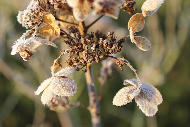 Nahaufnahmeaufnahme der getrockneten hortensie mit einer dünnen frostschicht