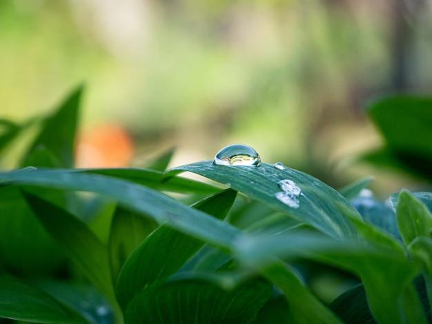 Nahaufnahmeaufnahme der grünen pflanze mit wassertropfen auf den blättern im garten