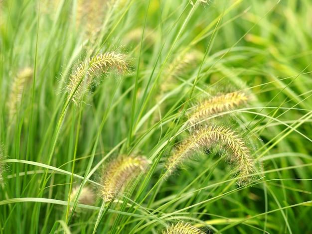 Nahaufnahmeaufnahme der grünen weizenspitzen