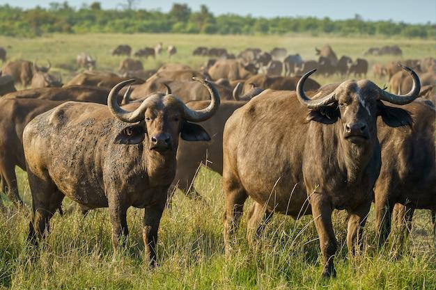 Nahaufnahmeaufnahme der hartnäckigkeit des büffels in einem grünen feld an einem sonnigen tag