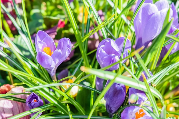 Nahaufnahmeaufnahme der purpurnen und weißen frühlingskrokusblumen