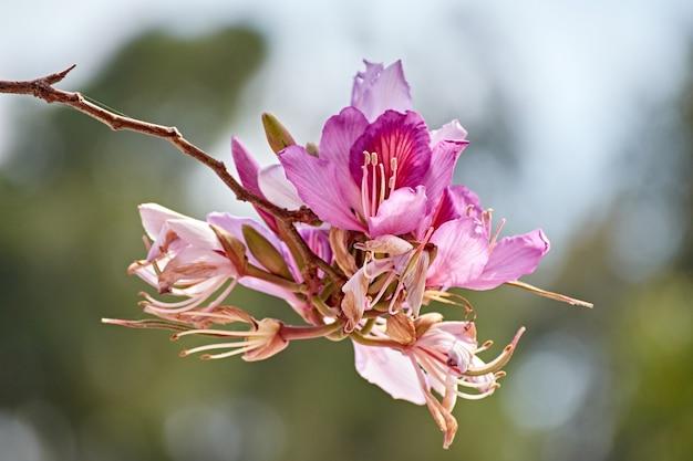 Nahaufnahmeaufnahme der rosa blühenden bauhinia auf unscharfem hintergrund