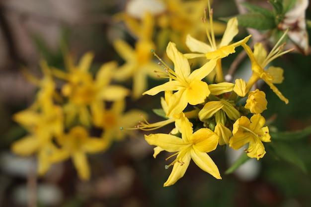 Nahaufnahmeaufnahme der schönen azaleenblumen in einem garten