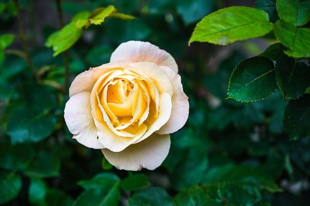 Nahaufnahmeaufnahme der schönen gelben rosenblume, die in einem garten blüht