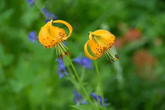 Nahaufnahmeaufnahme der schönen gelben tigerlilienblumen