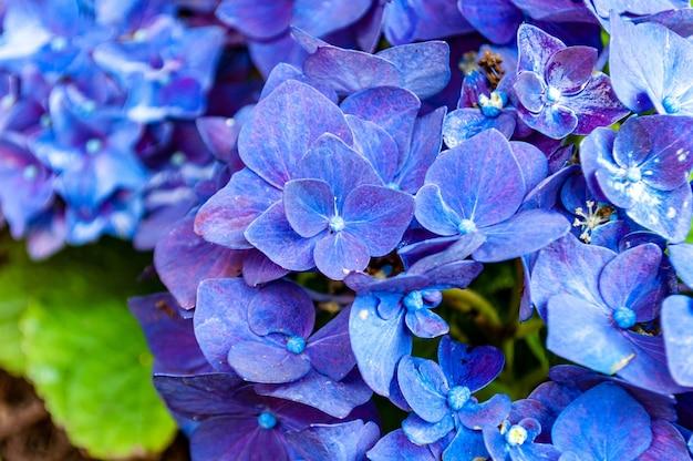 Nahaufnahmeaufnahme der schönen hortensienblumen