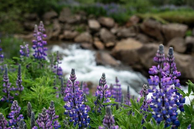 Nahaufnahmeaufnahme der schönen lila farnblatt-lavendelblumen nahe dem fluss