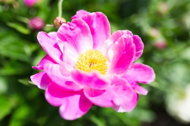 Nahaufnahmeaufnahme der schönen lila gemeinsamen pfingstrosenblumen in einem garten