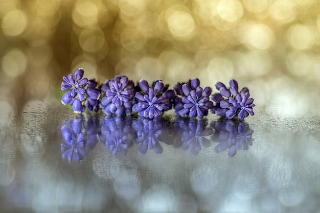 Nahaufnahmeaufnahme der schönen lila traubenhyazinthenblumen