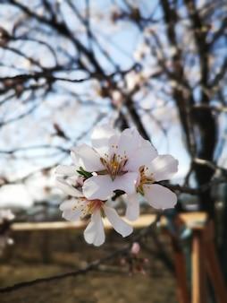Nahaufnahmeaufnahme der schönen mandelblütenblumen