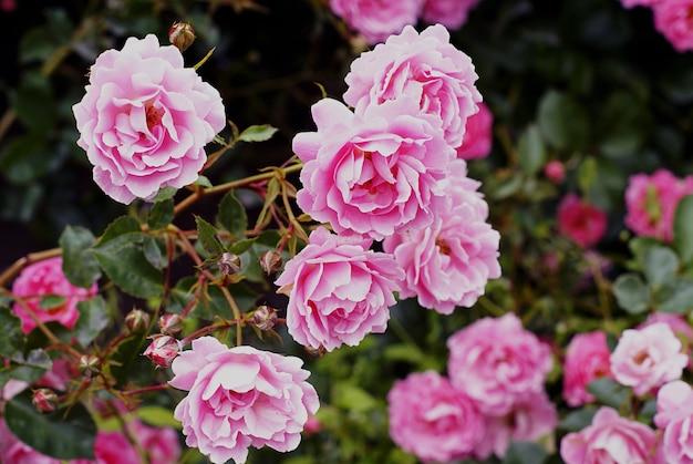 Nahaufnahmeaufnahme der schönen rosa gartenrosen, die auf dem busch wachsen