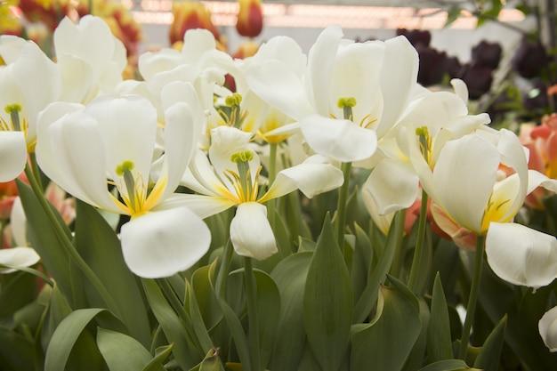 Nahaufnahmeaufnahme der schönen tulpen mit den weißen blütenblättern