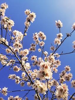 Nahaufnahmeaufnahme der schönen weißen blumen auf mandelbäumen und einem blauen himmel