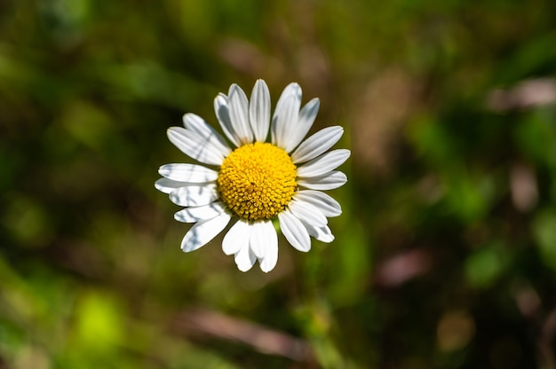 Nahaufnahmeaufnahme der schönen weißen gänseblümchenblumen auf einem unscharfen