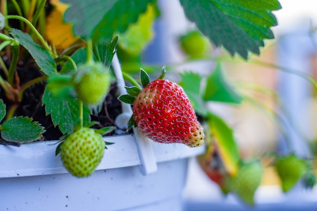 Nahaufnahmeaufnahme der wachsenden erdbeeren