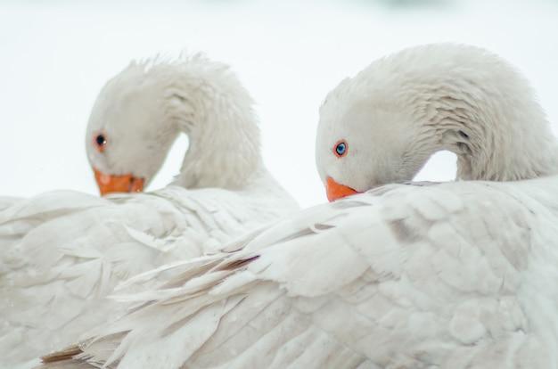 Nahaufnahmeaufnahme der zwei niedlichen weißen gänse mit verdrehten hälsen